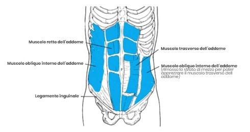 Anatomija trebušnih mišic