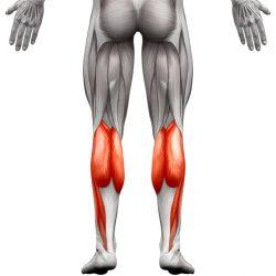 I Muscoli Del Polpaccio