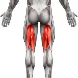 I Muscoli Posteriori Della Coscia
