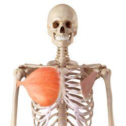 Il muscolo grande pettorale