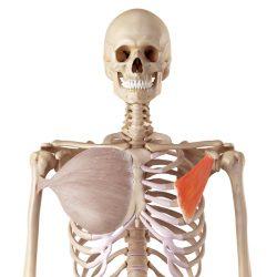 Il muscolo pettorale piccolo