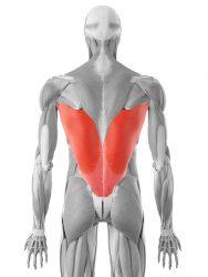 il muscolo grande dorsale