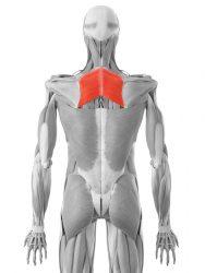 il muscolo romboide
