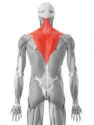 il muscolo trapezio