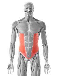muscolo obliquo dell'addome