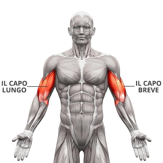 il muscolo bicipite