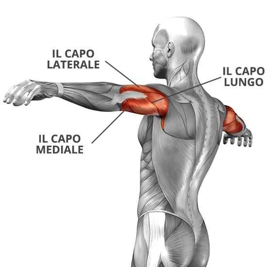 il muscolo tricipite