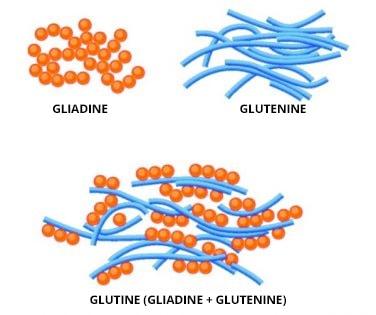 La gliadina e la glutenina